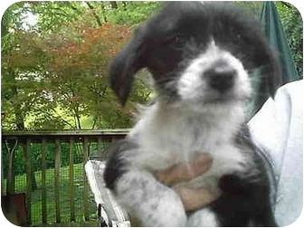 all of, CT - Wirehaired Fox Terrier. Meet Whiskers a Dog for Adoption.