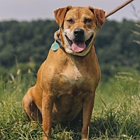 Labrador Retriever/Rhodesian Ridgeback Mix Dog for adoption in Nashville, Tennessee - Zena