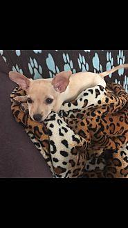 Chihuahua Mix Puppy for adoption in Monrovia, California - Zoe