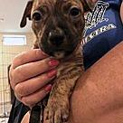 Adopt A Pet :: Butterbean's Bentley