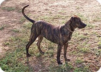 Plott Hound Mix Dog for adoption in Pipe Creed, Texas - Ripley
