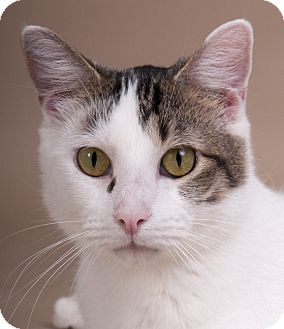 Domestic Shorthair Cat for adoption in Chicago, Illinois - Eli