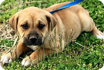 Foster Ri Mastiff Meet Dawton A Pet For Adoption