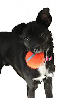 Terrier (Unknown Type, Small) Mix Dog for adoption in Bend, Oregon - Indy - Outgoing Family Dog!