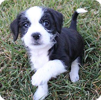 Bichon Poo Dogs For Adoption