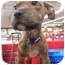 Photo 4 - Shar Pei/Terrier (Unknown Type, Medium) Mix Puppy for adoption in Detroit, Michigan - Loulay-Adopted