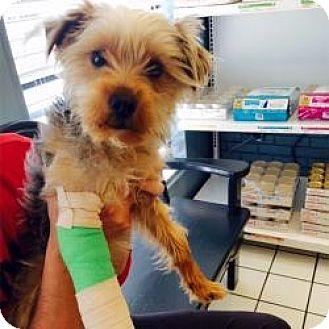 Suwanee, GA - Yorkie, Yorkshire Terrier  Meet Mila a Pet for