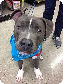 American Pit Bull Terrier/Labrador Retriever Mix Dog for adoption in San Diego, California - Bluie