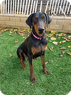 Doberman Pinscher Dog for adoption in Saugus, California - Iris