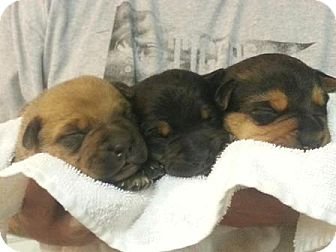 Des Moines Ia Australian Cattle Dog Meet Puppies A Pet For Adoption