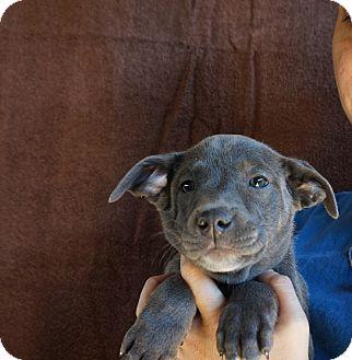 Beagle/Australian Shepherd Mix Puppy for adoption in Oviedo, Florida - Sophie