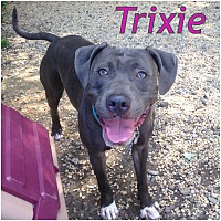 Weimaraner/Terrier (Unknown Type, Medium) Mix Dog for adoption in Tinton Falls, New Jersey - TRIXIE