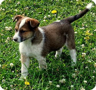Small Adult Cattle Dog For Adootion
