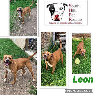 Adopt A Pet :: Leon  - South Park, PA