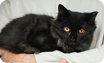 Domestic Mediumhair Cat for adoption in Morganville, New Jersey - Shadow