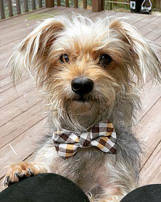 Pittsburgh, PA - Yorkie, Yorkshire Terrier  Meet Lado a Pet