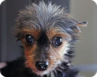 Yorkie, Yorkshire Terrier Dog for adoption in Mount Gretna, Pennsylvania - Wolfie - adoption pending
