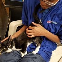 Adopt A Pet :: Peepers     171758 - Atlanta, GA