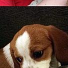 Adopt A Pet :: Pomm Beagle Slash
