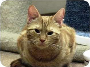 Domestic Shorthair Cat for adoption in Norwalk, Connecticut - Goldie