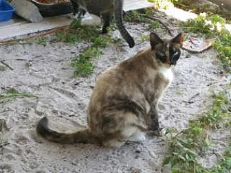 Adopt A Pet :: URGENT..CHOCOLATE SEALPOINT  - Ft Myers Beach, FL