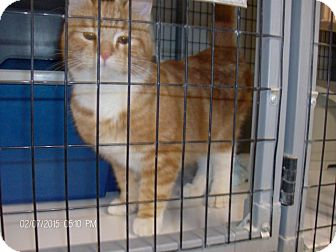 Domestic Shorthair Kitten for adoption in Cut Bank, Montana - Fitzcatrick