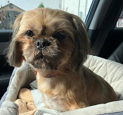Bucks County Pa Shih Tzu Meet Charlie A Pet For Adoption
