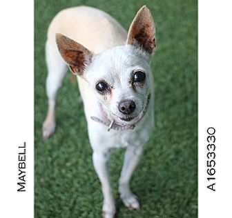Chihuahua Mix Dog for adoption in Creston, California - Maybell