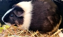 Adopt a Pet :: OREO - Methuen, MA -  Guinea Pig