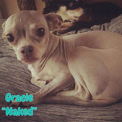 Reno Nv Chihuahua Meet Grace Aka Naked A Pet For Adoption