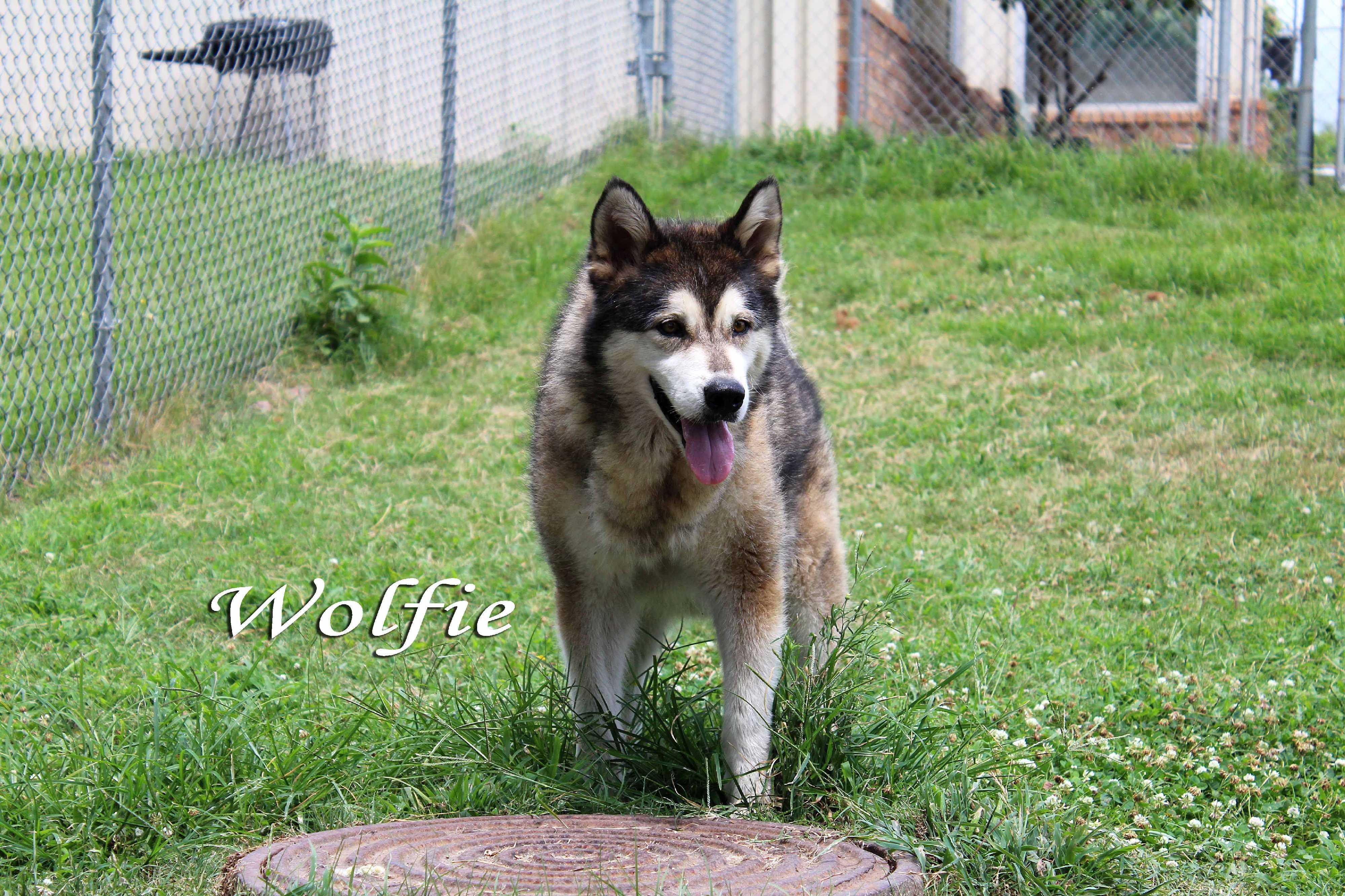 Texarkana Ar Alaskan Malamute Meet Wolfie A Pet For Adoption