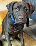 Adopt a Pet :: Wells - Broomfield, CO -  Labrador Retriever Mix