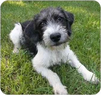 Mocksville, NC - Wirehaired Fox Terrier. Meet Lori Ann a Dog for ...