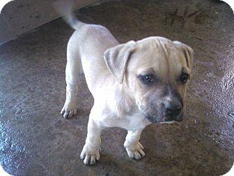 bullmastiff pitbull mix puppies wwwpixsharkcom