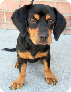 Beagle Dog Rescue Southern California