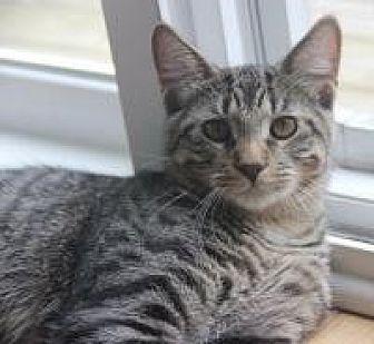 Domestic Shorthair Cat for adoption in Rochester, Michigan - Malachi