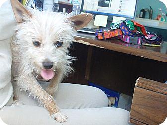 Poland In Cairn Terrier Meet Tweak A Pet For Adoption