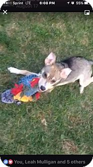 Australian Shepherd/Chihuahua Mix Puppy for adoption in Providence, Rhode Island - Leo