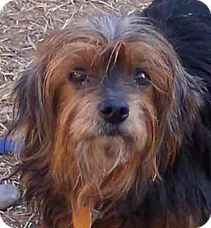 Yorkie, Yorkshire Terrier Dog for adoption in Guthrie, Oklahoma - Penny