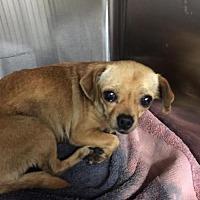 Adopt A Pet :: Corrine - Denver, CO