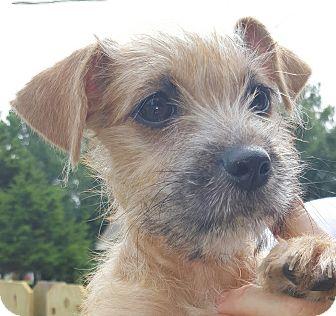 Trenton Nj Cairn Terrier Meet Trippe A Pet For Adoption