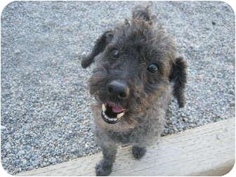 Spokane Wa Poodle Toy Or Tea Cup Meet Mister A Pet For