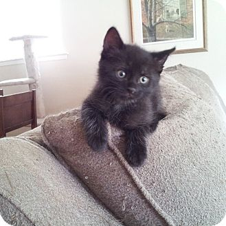 Domestic Shorthair Kitten for adoption in Toronto, Ontario - Precious