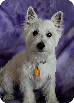 Wichita Ks Westie West Highland White Terrier Meet Pebbles A