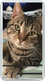 Domestic Shorthair Cat for adoption in Painted Post, New York - Bugs
