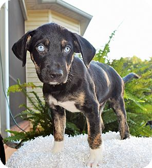 Pit Bull Terrier/Husky Mix Puppy for adoption in Charlotte, North Carolina - Orlando (City Slickers)