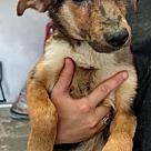 Adopt A Pet :: Pup Addison