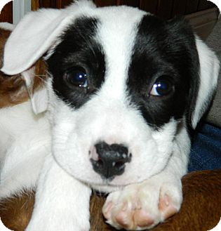American Pit Bull Terrier Puppy for adoption in Ryland Heights, Kentucky - Fiona