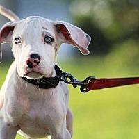 Adopt A Pet :: Atticus - Lubbock, TX