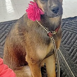 Puppies for Sale in Columbus Indiana - Adoptapet com